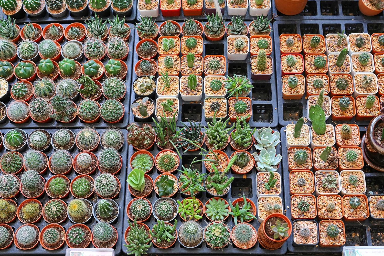 Cactus propagation in Mesa